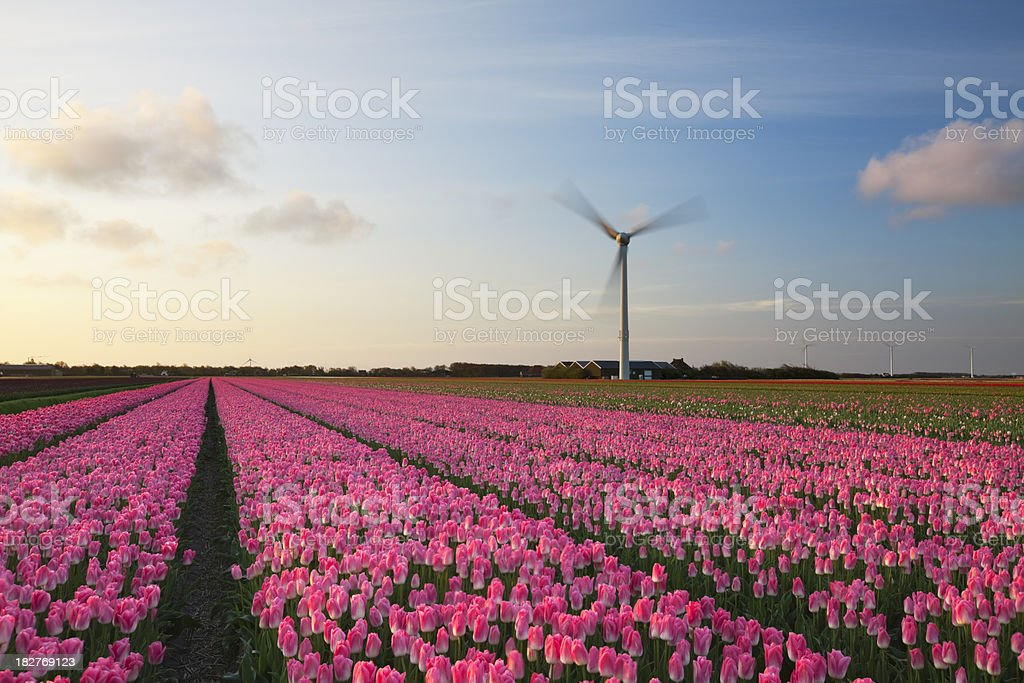 Sunrise over rows of pink blooming tulips, The Netherlands royalty-free stock photo