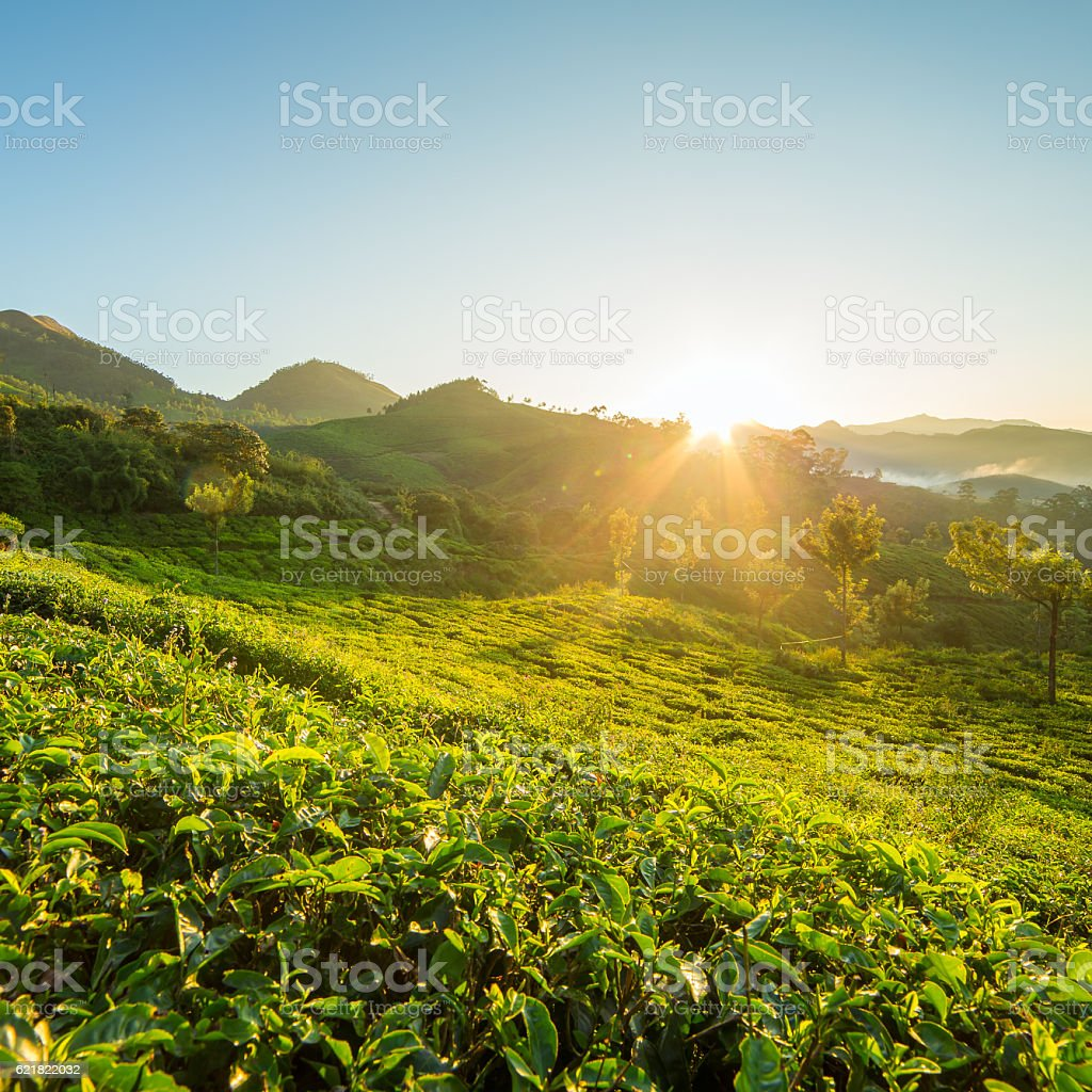 Sunrise over tea plantations in Munnar, Kerala, India stock photo