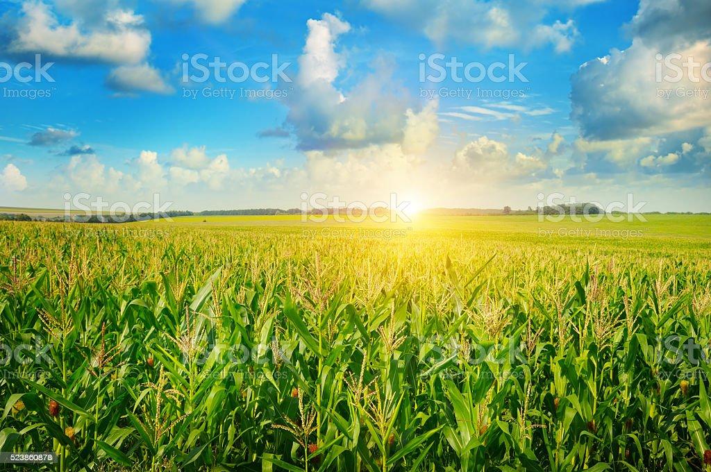 sunrise over the corn field stock photo