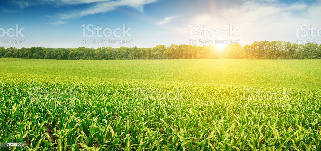 sunrise over the field stock photo