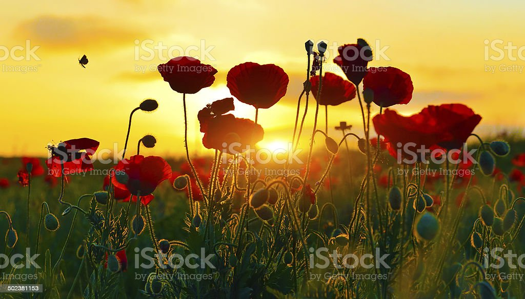 Sunrise poppies stock photo