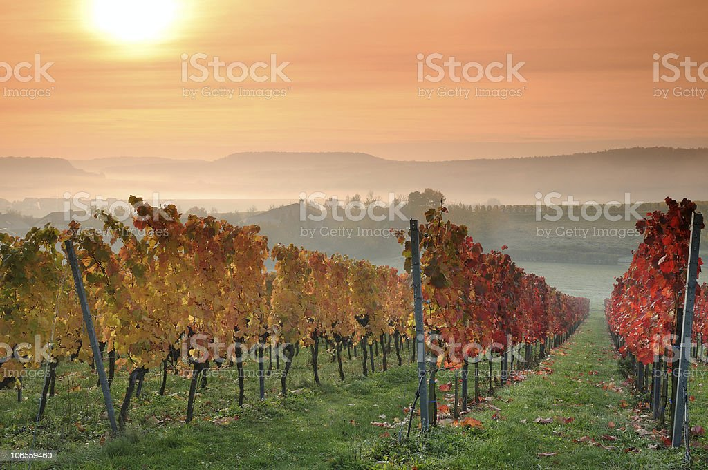 Sunrise Red and Yellow Vineyards in Germany stock photo