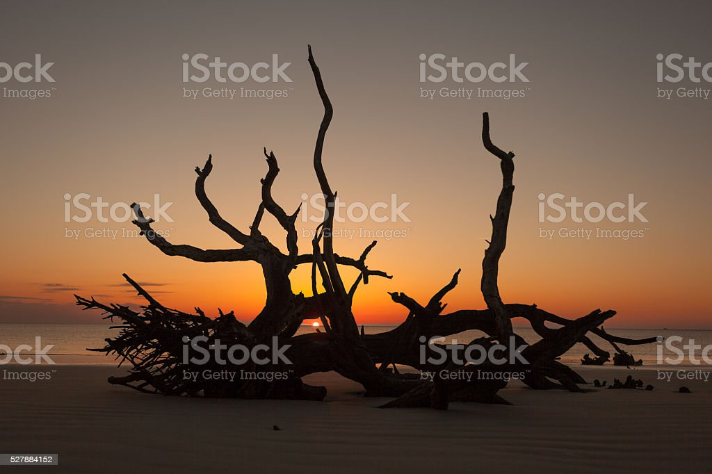 Sunrise seen through driftwood on Jekyl Island in Georgia. stock photo