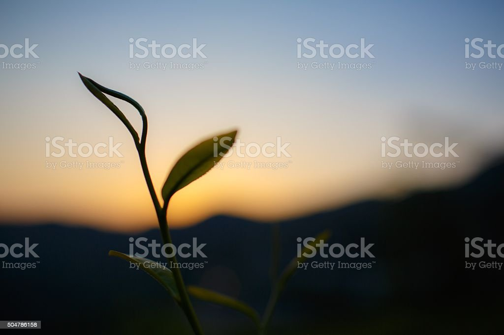 Sunrise silhouette tea stock photo