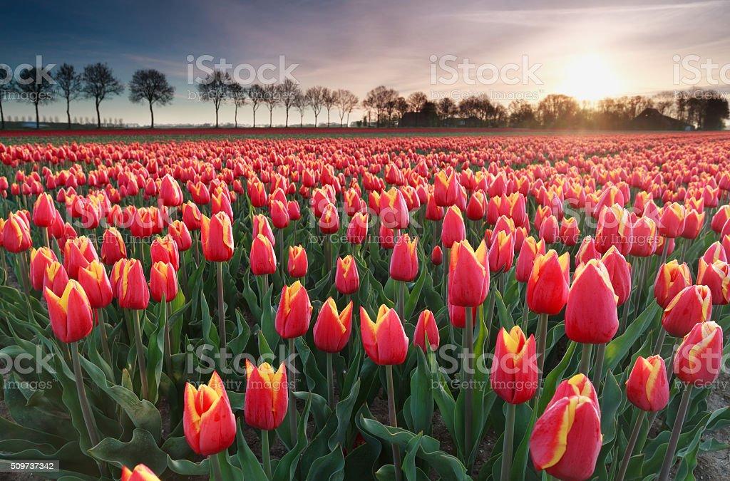 sunrise sun over red tulip field in North Holland stock photo