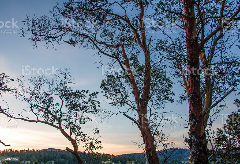 Sunrise through madrone trees stock photo
