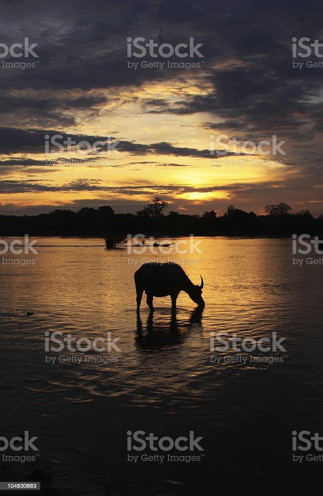 Sunrise water buffalo silhouette royalty-free stock photo
