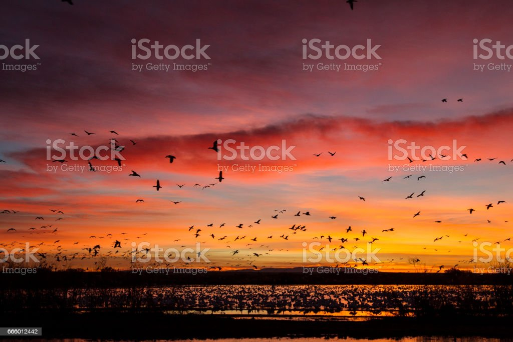 Sunrise With Snow Geese over Bosque Del Apache stock photo