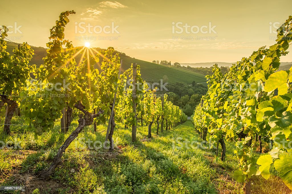 Sunrise with sunbeams in a vineyard stock photo