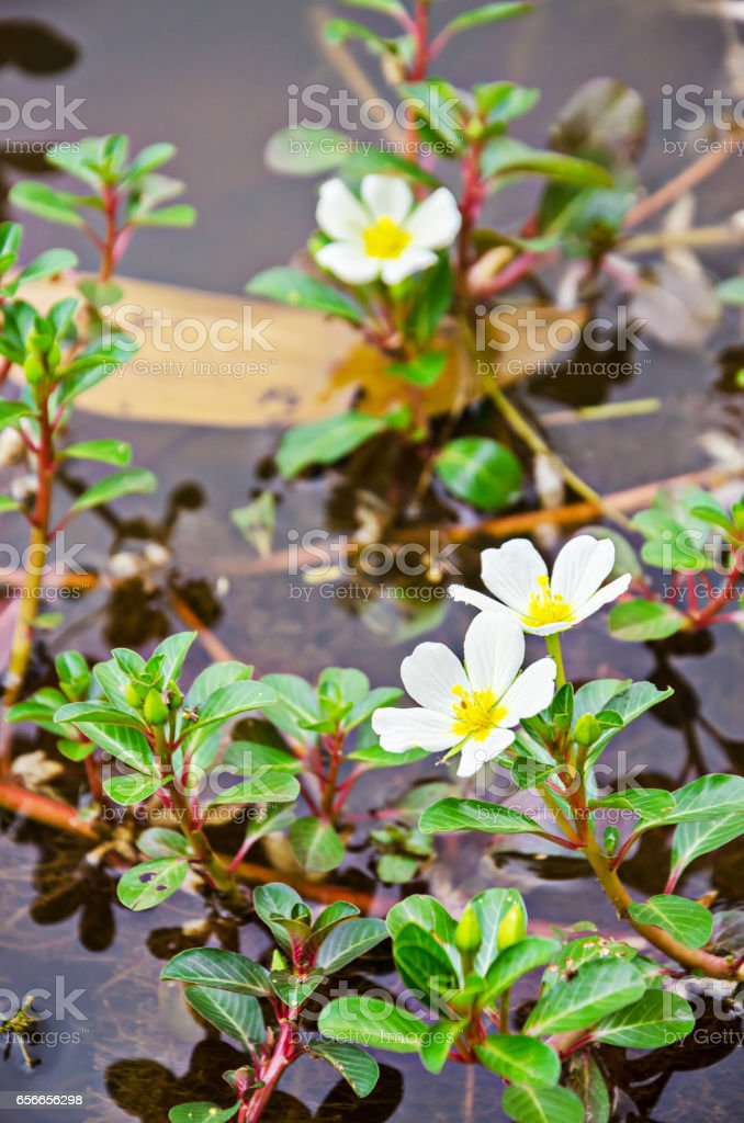 Sunrose willow or Jussiaea repens Linn stock photo