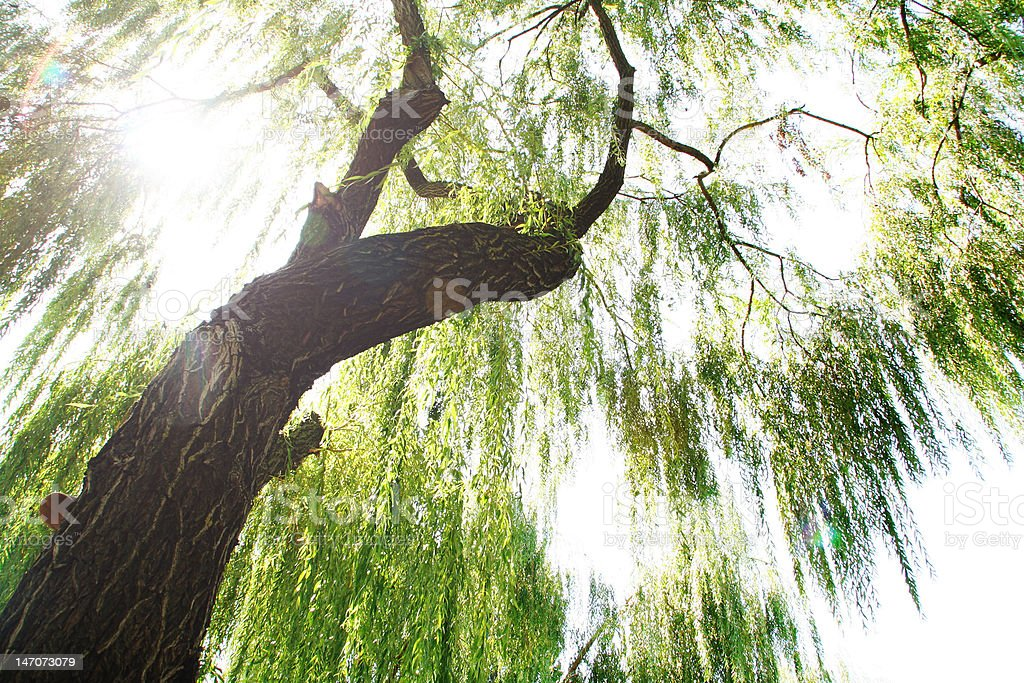 Sun's rays through the branches of willow stock photo