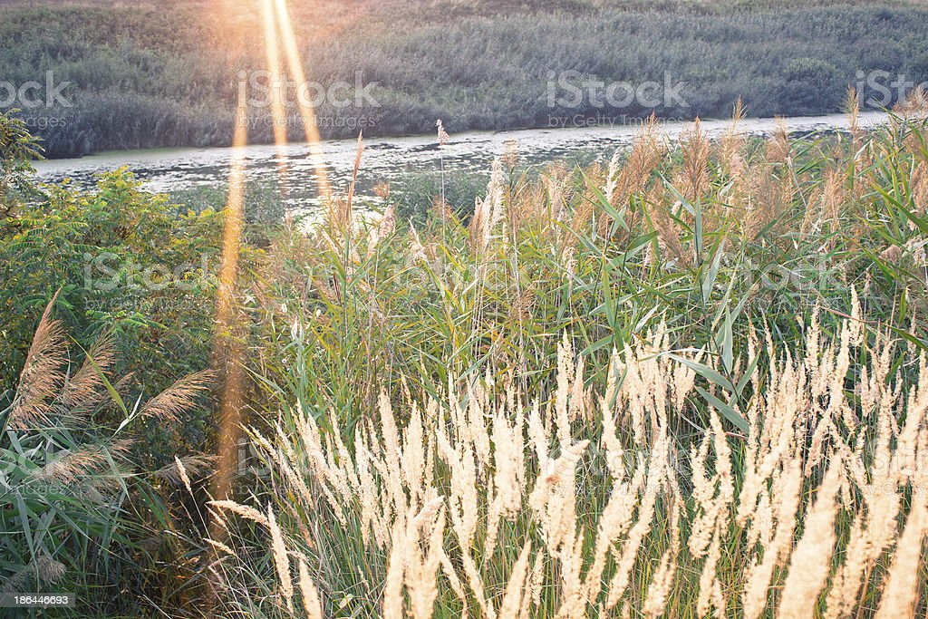 Sunset And Bulrush royalty-free stock photo
