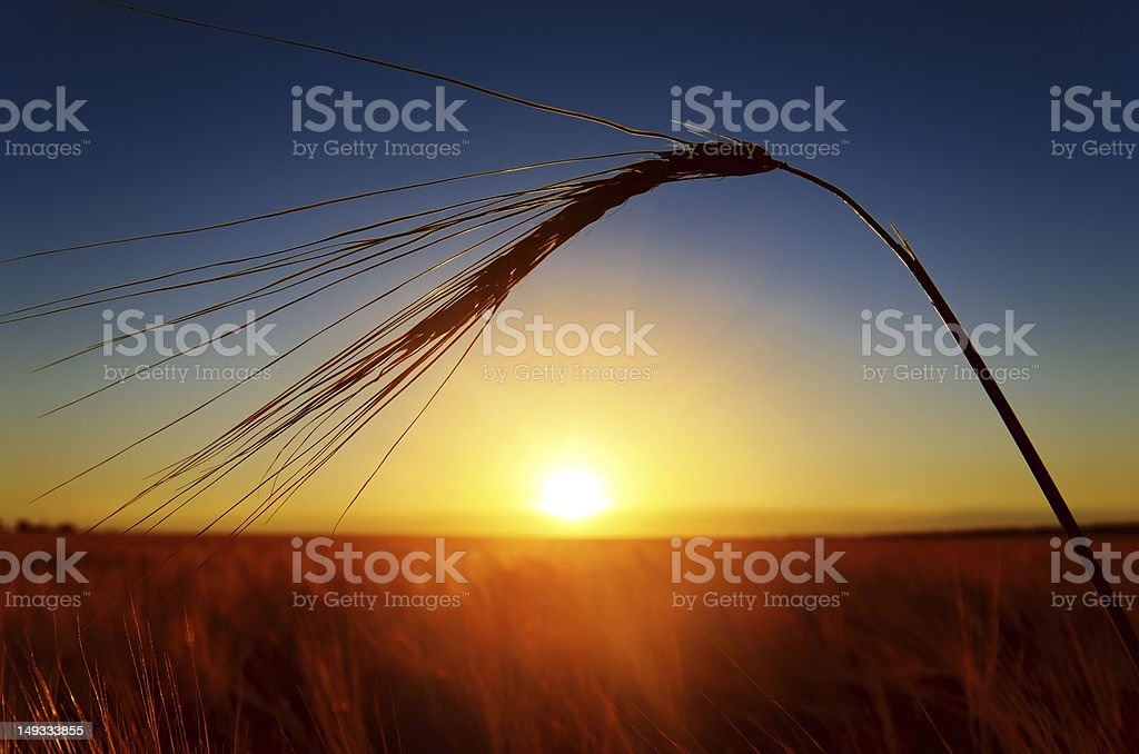 sunset and ears of ripe wheat royalty-free stock photo