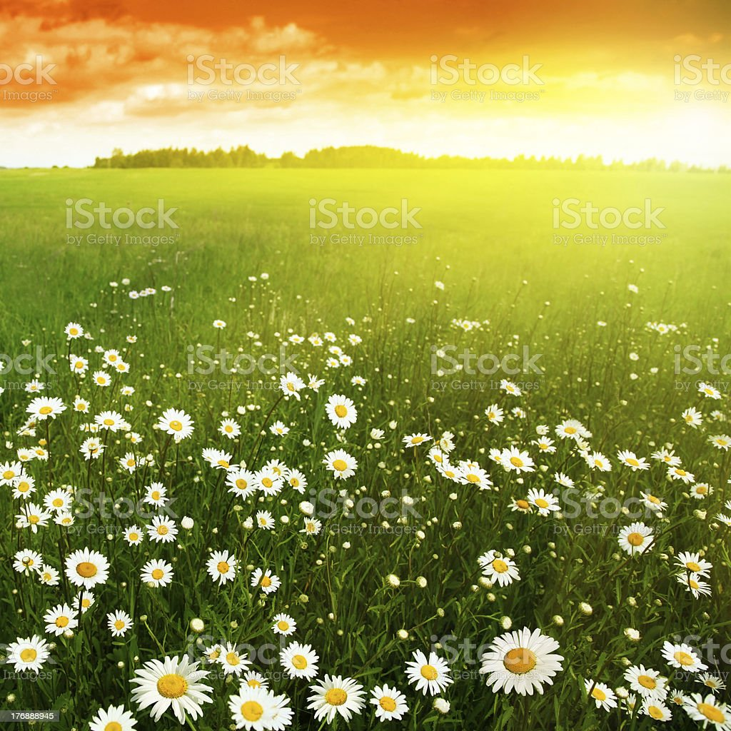Sunset and flower field. stock photo