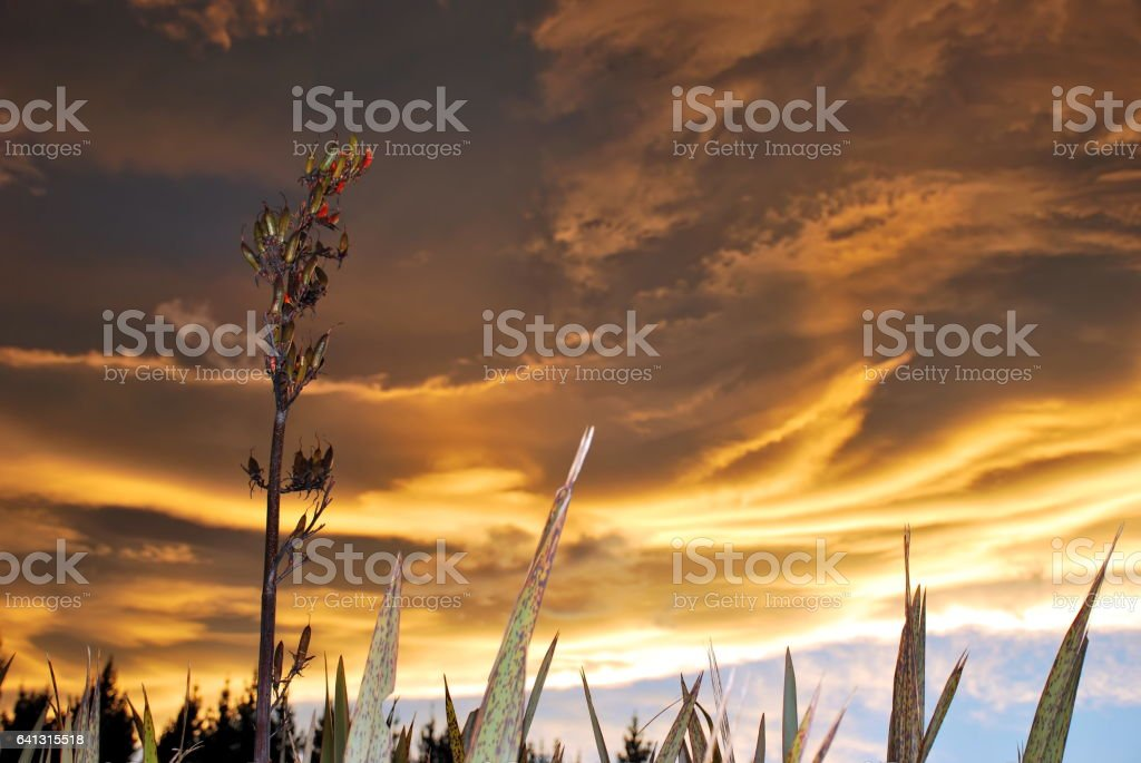 Sunset and Harakeke (New Zealand Flax) stock photo