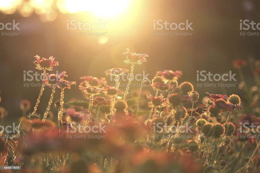 Sunset and Helenium flowers royalty-free stock photo