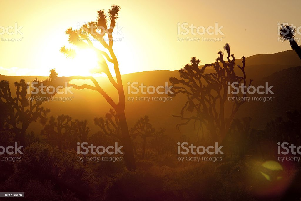 Sunset and joshua trees in California. royalty-free stock photo