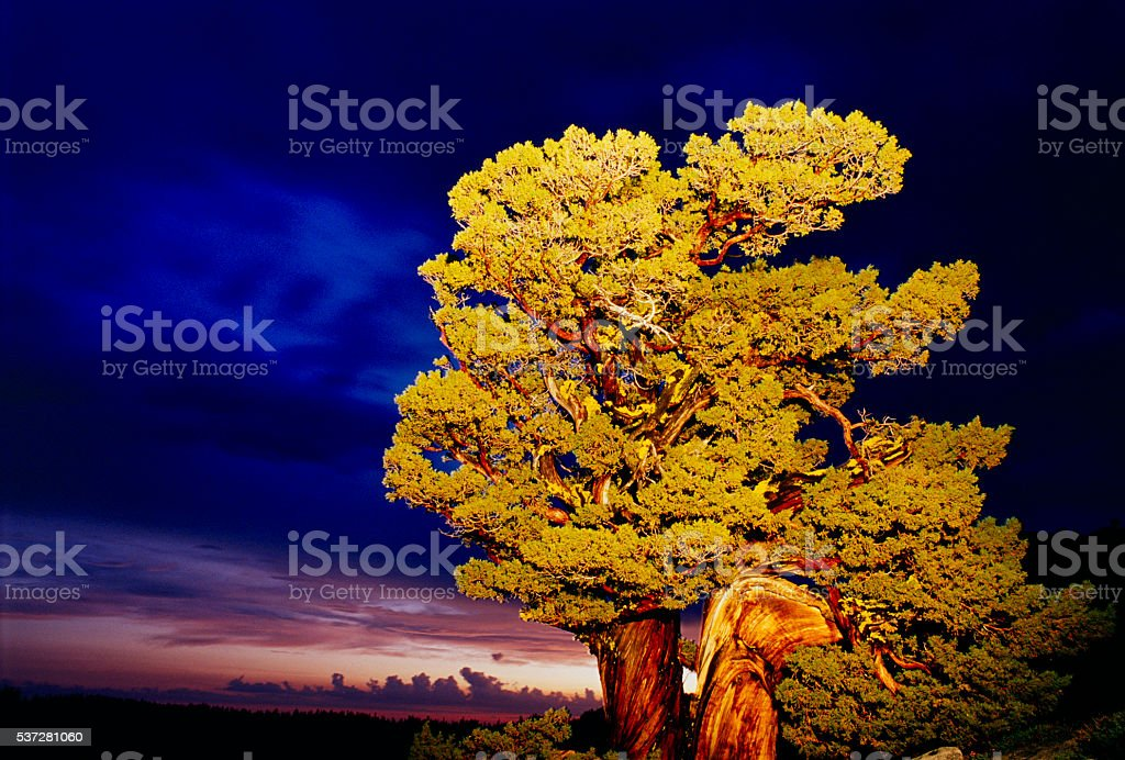 Sunset and sierra juniper, Yosemite stock photo