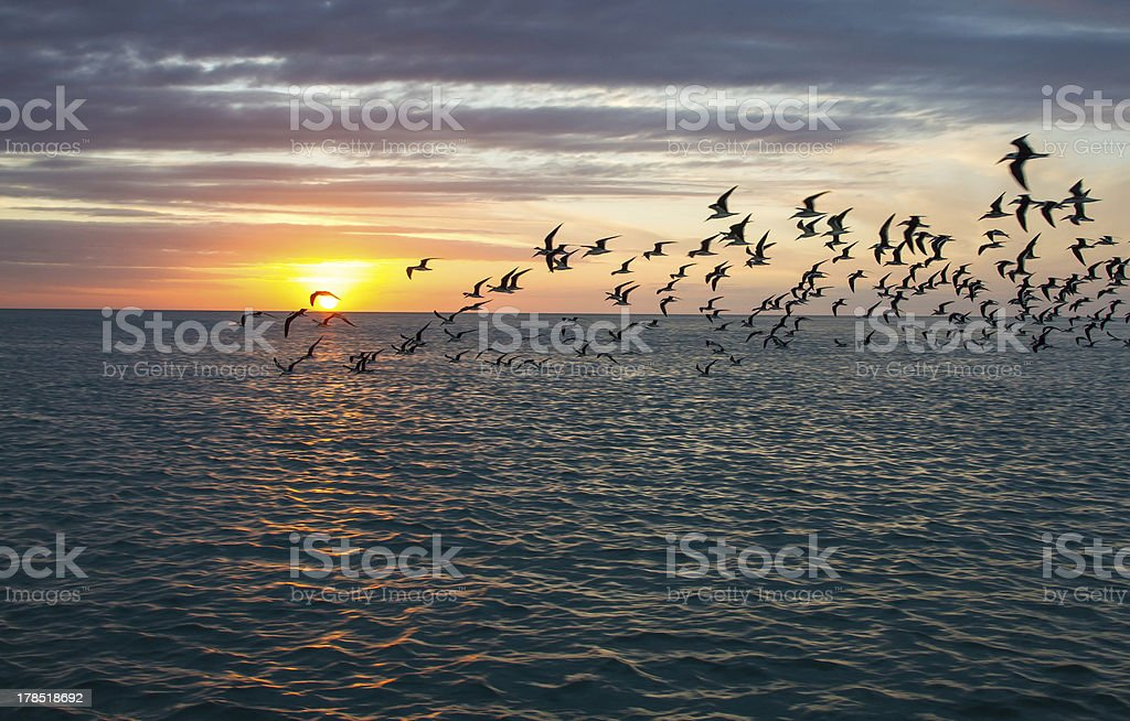 Sunset and skimmers in Florida royalty-free stock photo