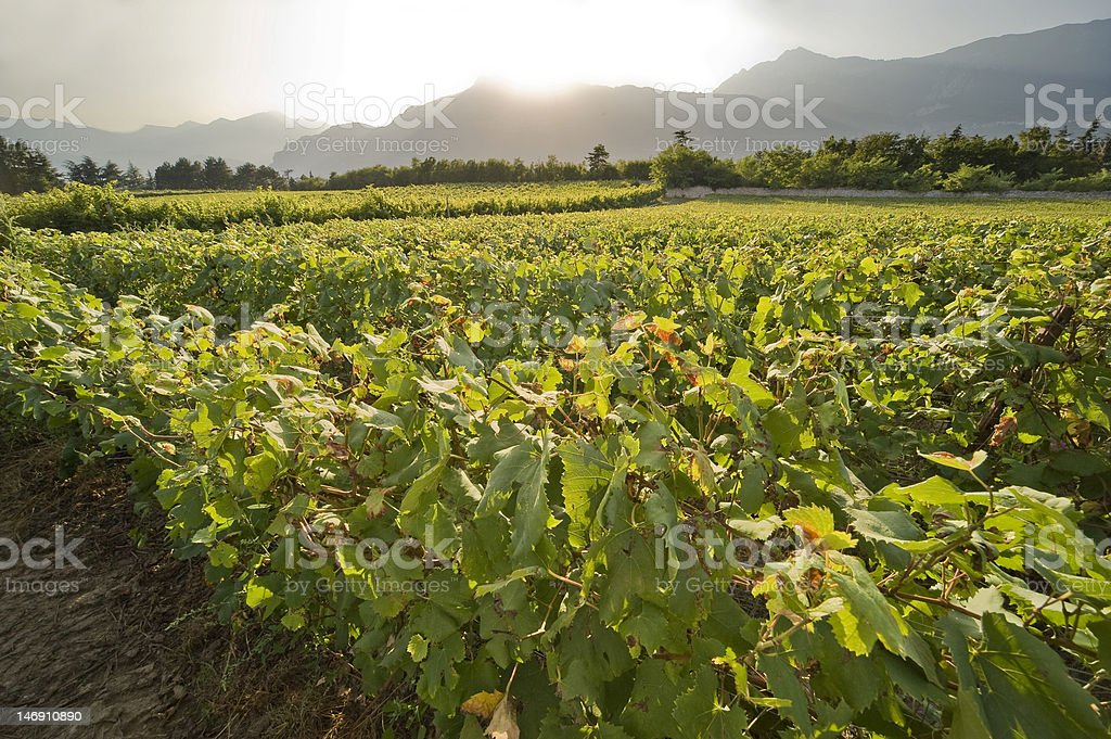 Sunset and Vineyard royalty-free stock photo