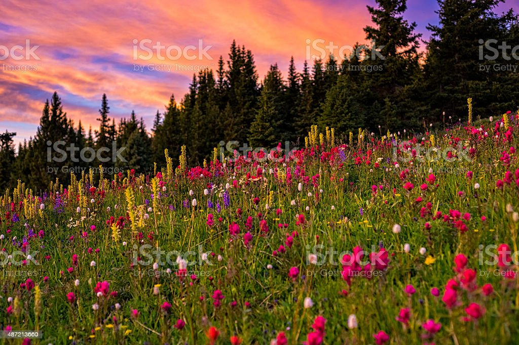 Sunset and Wildflowers in Mountain Meadow stock photo