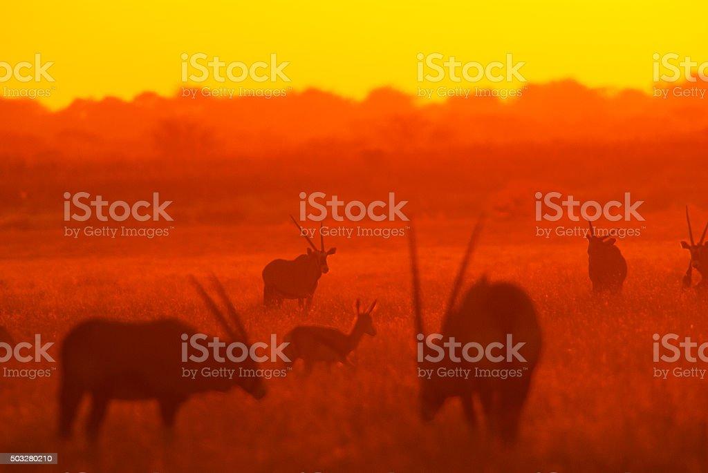 Sunset at Deception Valley, Central Kalahari National Park, Bots stock photo