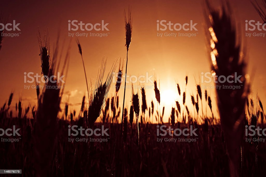 Sunset at field royalty-free stock photo