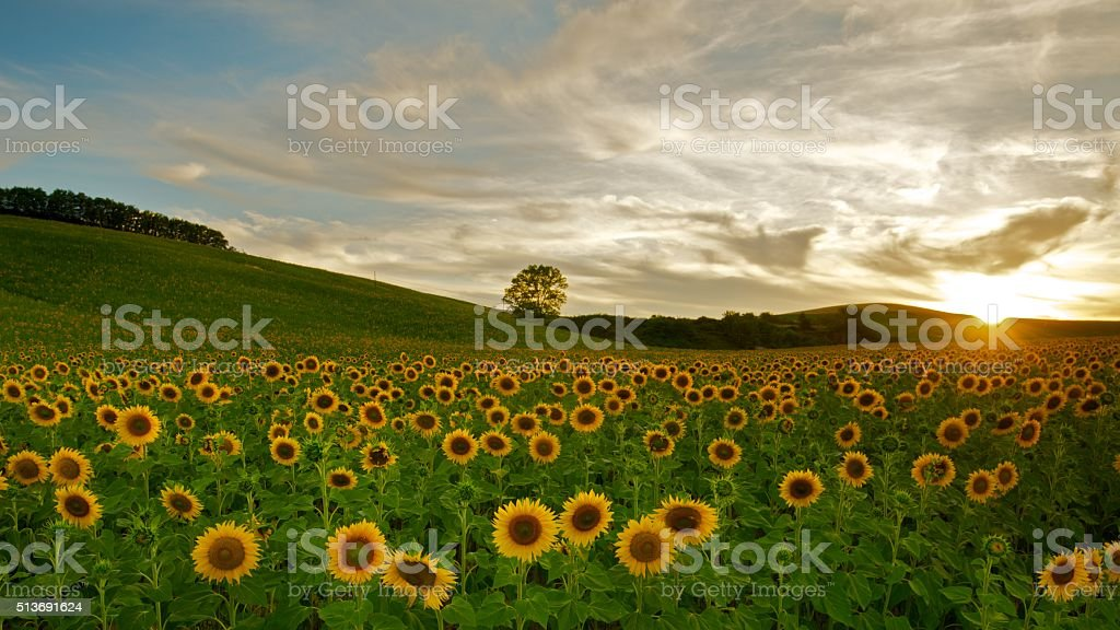 Sunset at sunflower field in Tuscany, Italy. stock photo