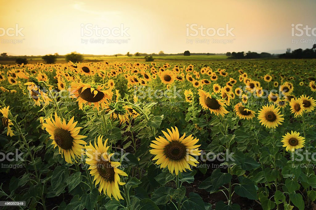 sunset at  sunflowers farm stock photo