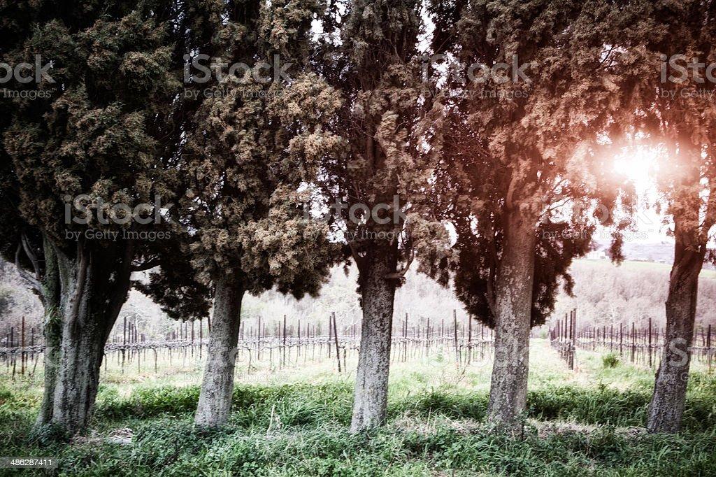 Sunset at the Winefarm... royalty-free stock photo