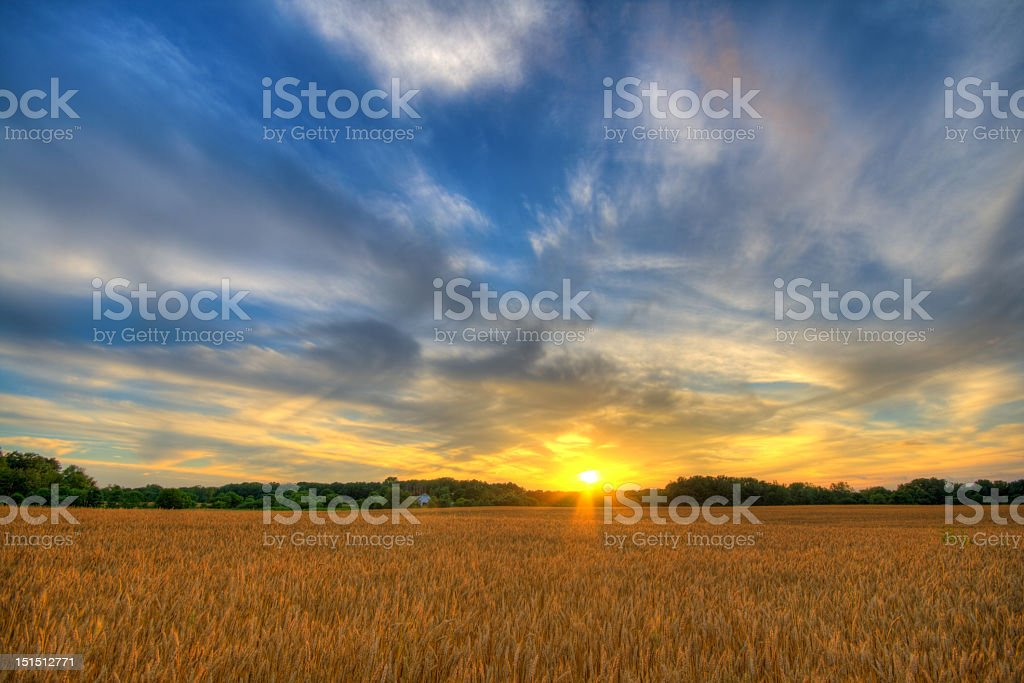 Sunset at wheat field ready for harvest stock photo