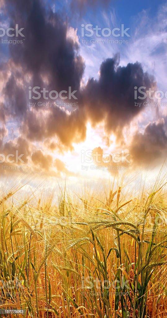 XXXL sunset barley close-up royalty-free stock photo