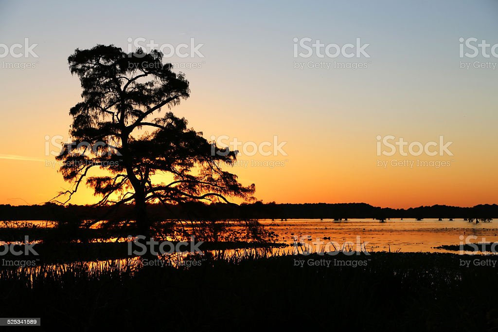 Sunset behind cypress tree stock photo