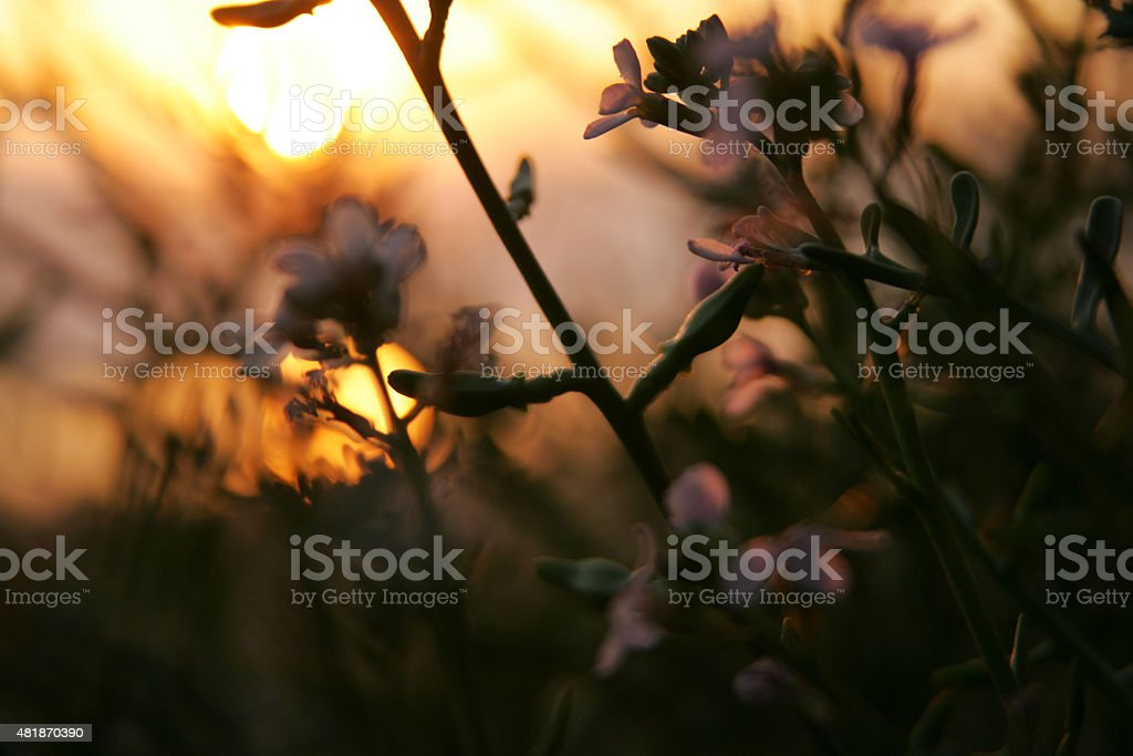 Sunset behind soft-focused flowers stock photo