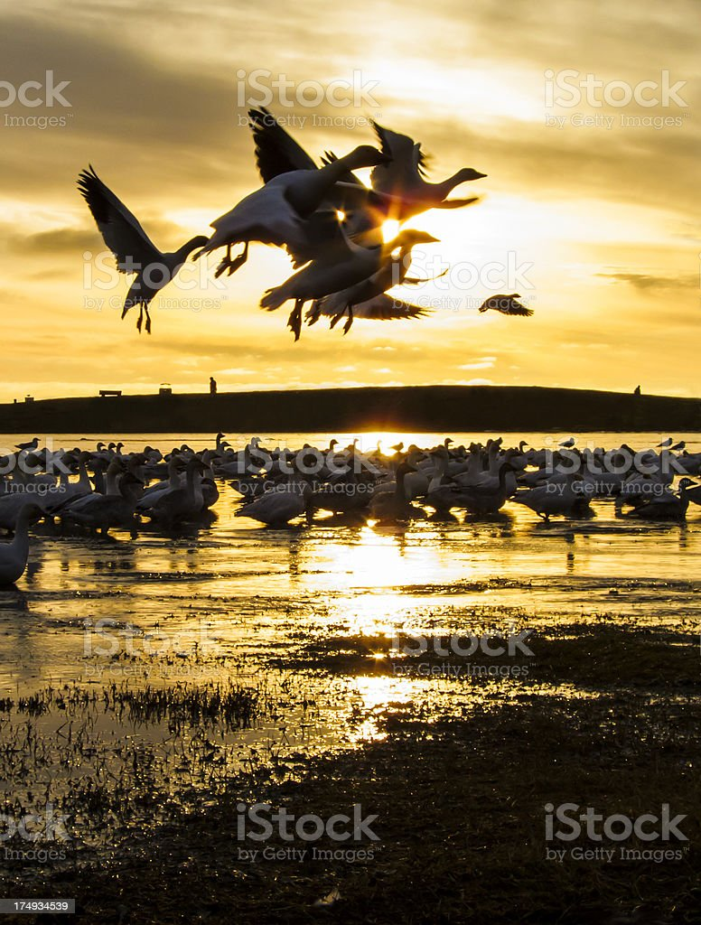 Sunset Dance of Snow Geese stock photo