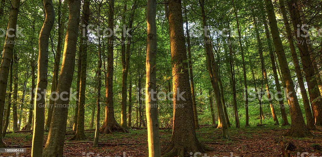 Sunset forest royalty-free stock photo