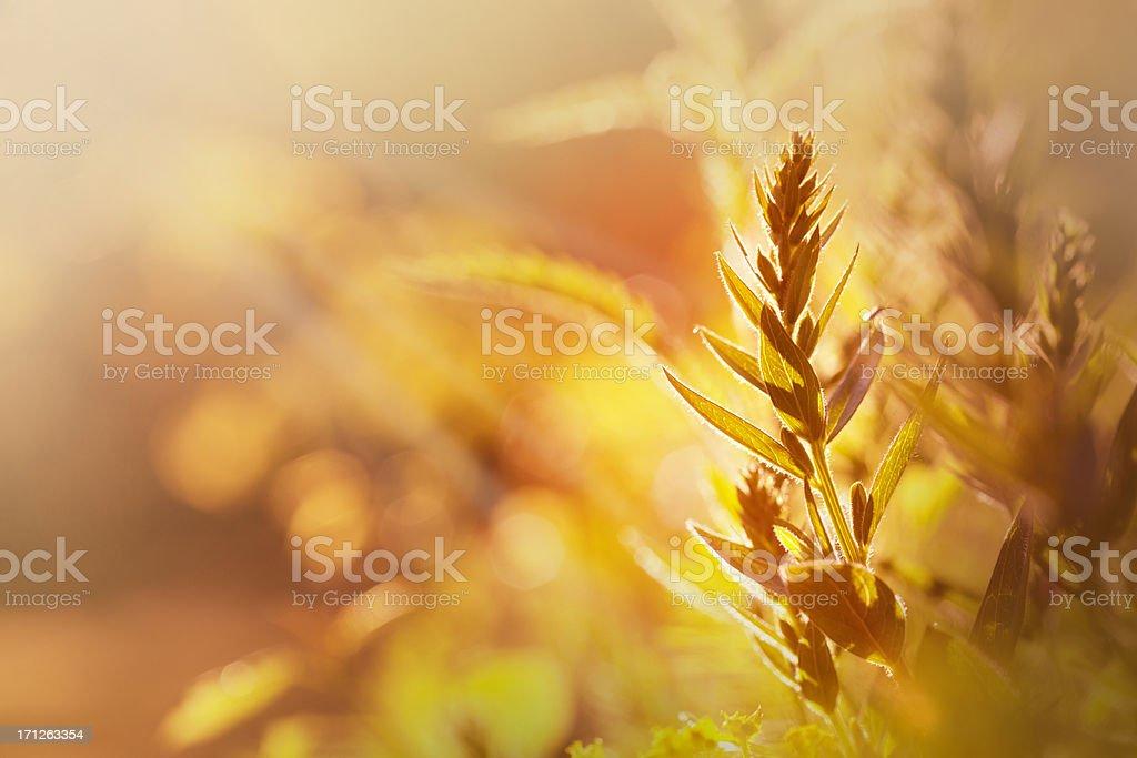 Sunset grass royalty-free stock photo