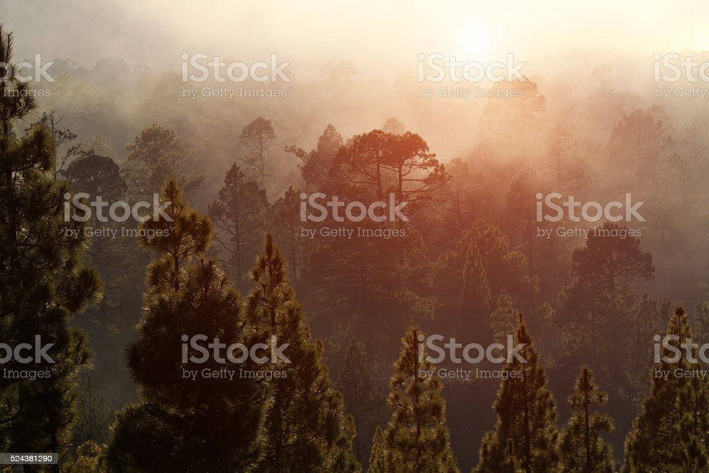 Sunset in a misterious foggy forest stock photo