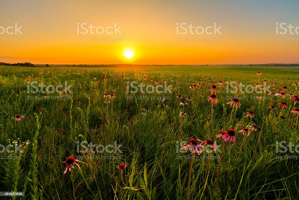 Sunset in a Prairie Field of Purple Coneflowers stock photo