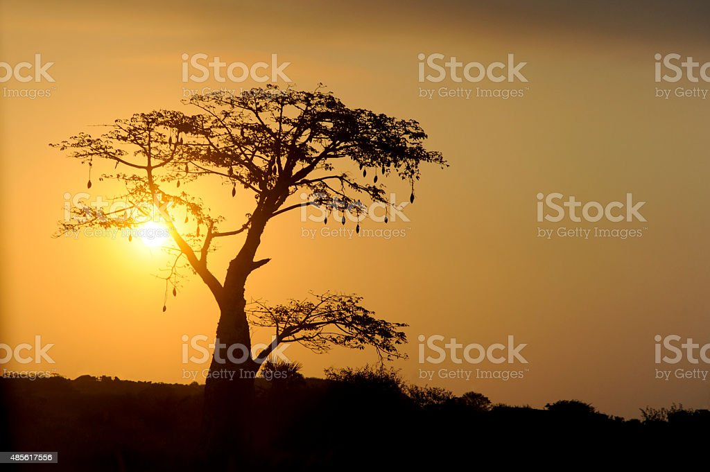 Sunset in a tree in Africa stock photo