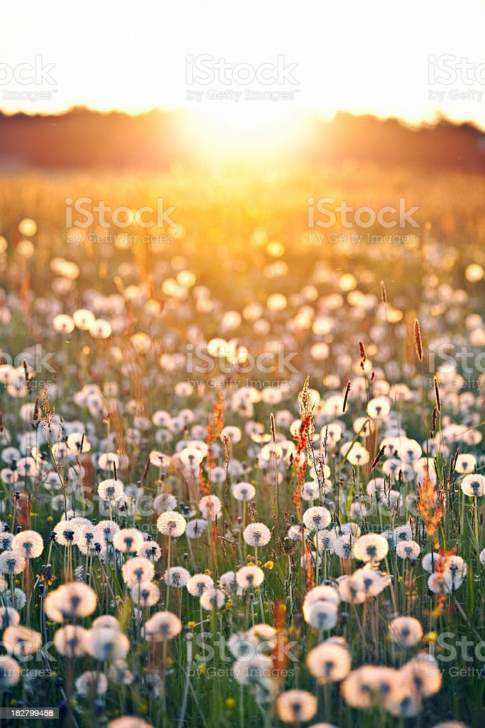 sunset in dandelion field royalty-free stock photo