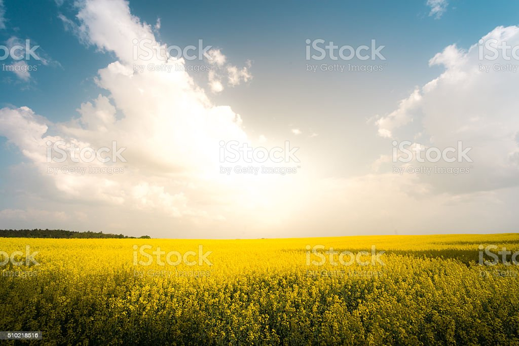 Sunset in field with flowers. Blue sky and clouds. stock photo