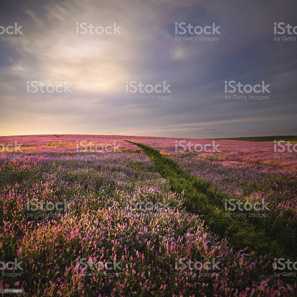 Sunset in lilac flowers royalty-free stock photo