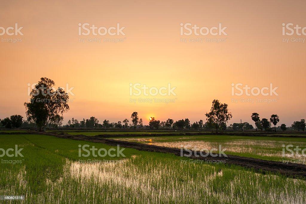 Sunset in Rice Field,Thailand stock photo
