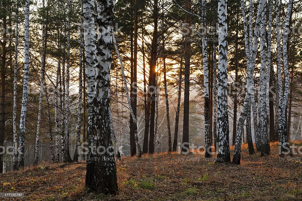 Sunset in the autumn forest royalty-free stock photo