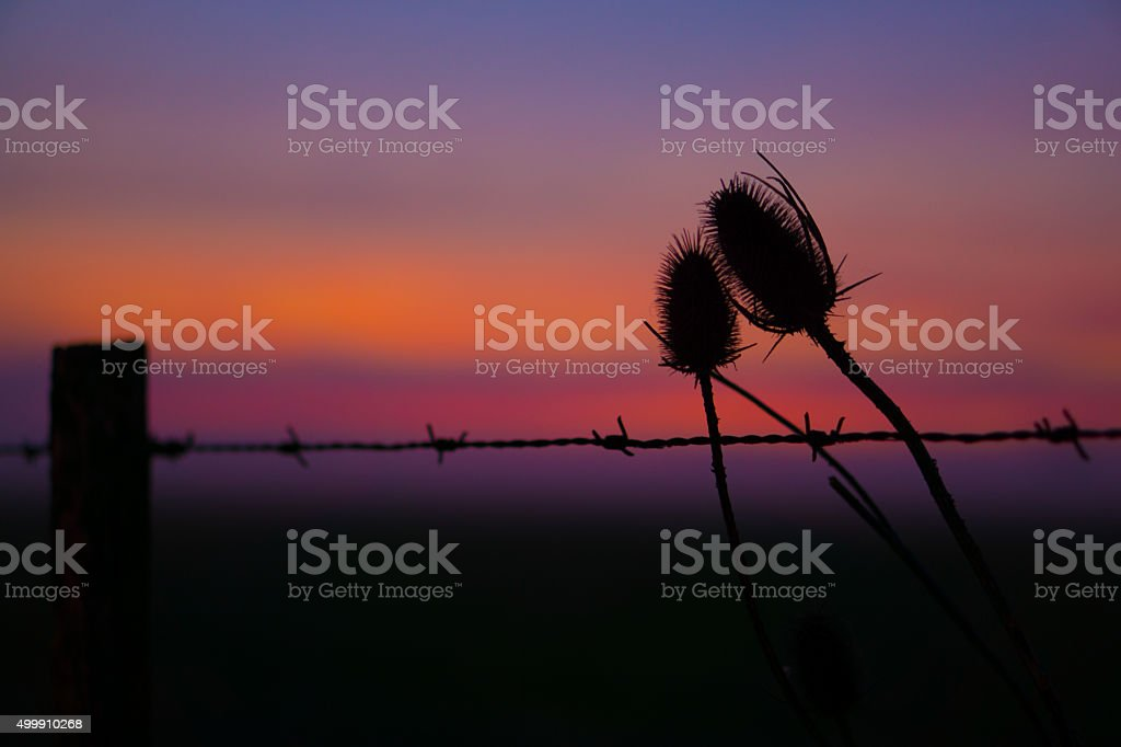 Sunset in the field. Thistles on field with fog stock photo