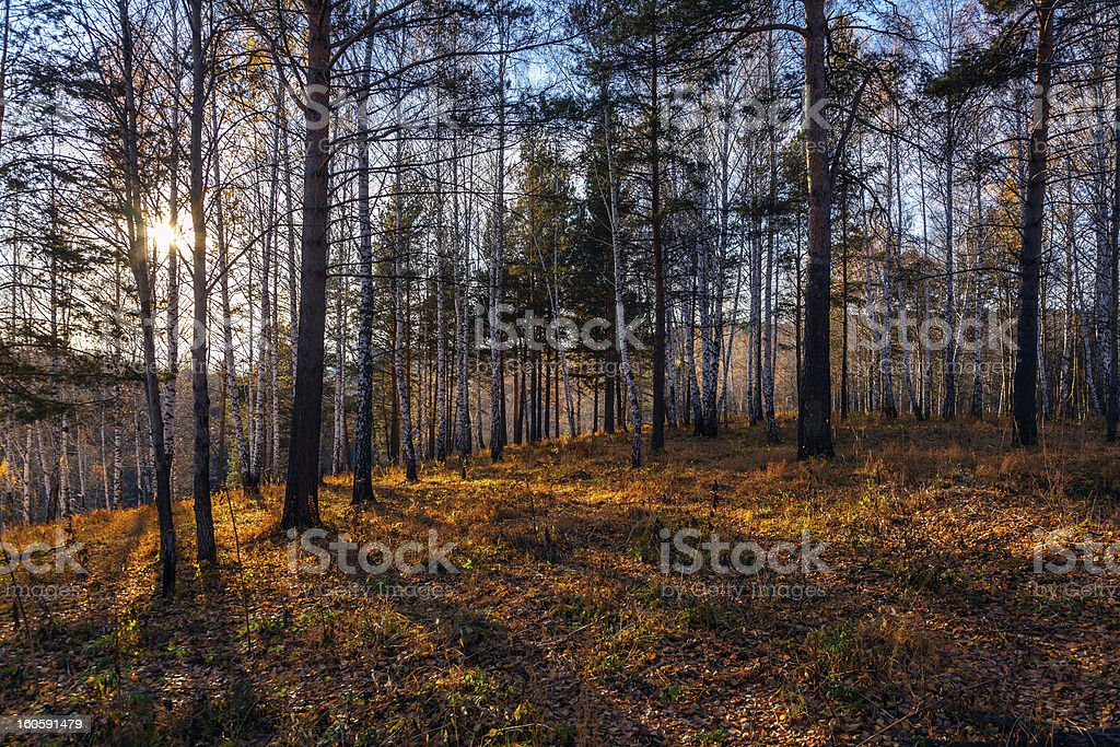 Sunset in the forest royalty-free stock photo