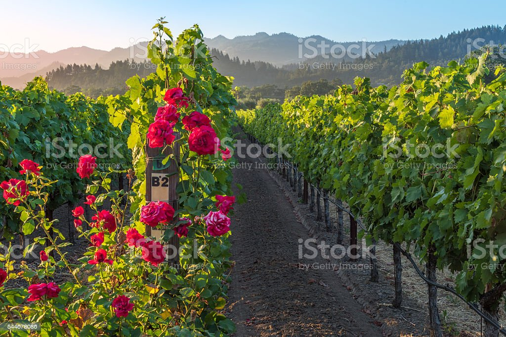 Sunset in the Napa Valley stock photo
