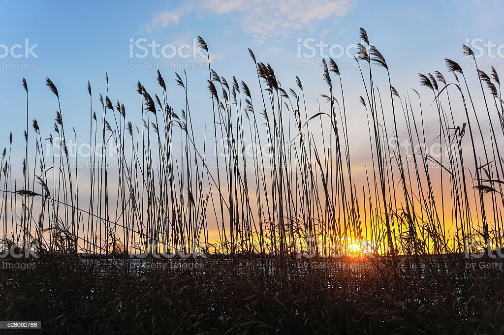 Sunset in the reed stock photo