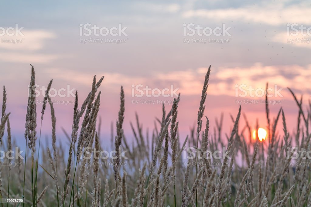 Sunset in the thickets of grass. stock photo